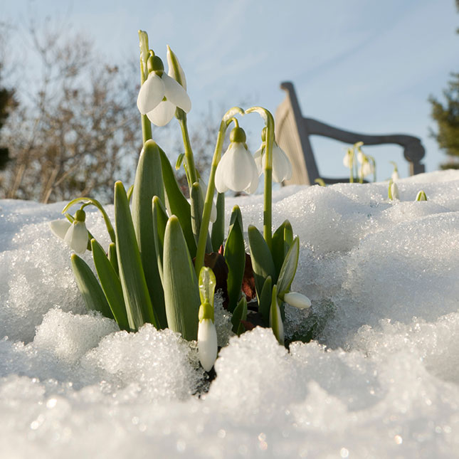 PHOTO: Snowdrops blooming in snow.