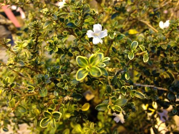 PHOTO: Snow Rose serrissa in flower.