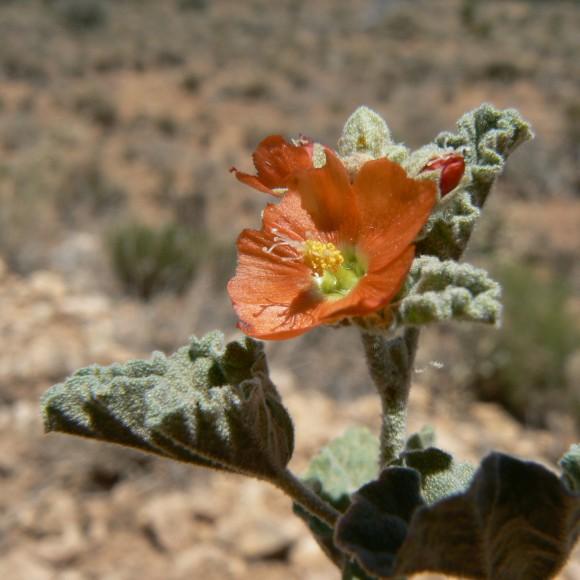 PHOTO: Sphaeralcea parvifolia.