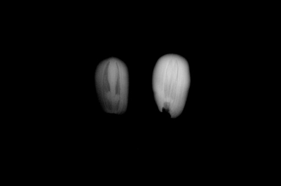PHOTO: An x-ray view of titan arum fruit pollinated by Spike (Chicago Botanic Garden).