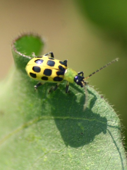 PHOTO: Spotted cucumber beetle.