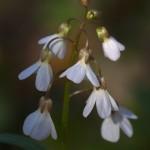 Spring cress (Cardamine bulbosa) ©Carol Freeman