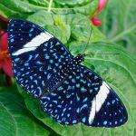 PHOTO: Starry Cracker (Hamadryas laodamia).