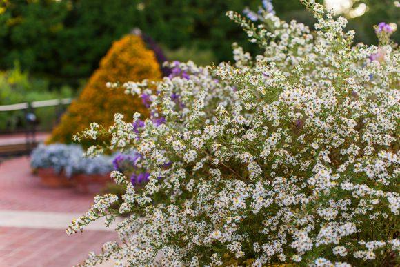 Frost aster (Symphyotrichum pilosum)