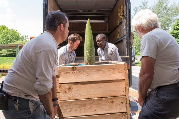 Loading up the titan arum bud in the truck.