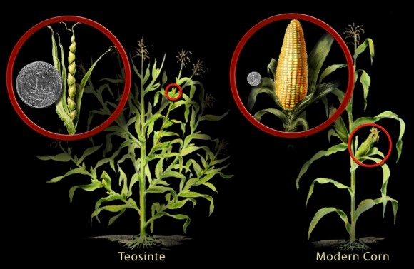 ILLUSTRATION: A comparison of teosinte vs. modern corn, Zea mays.