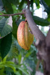 PHOTO: Cocoa tree.