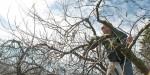 PHOTO: Tom Tiddens prunes in an apple tree.