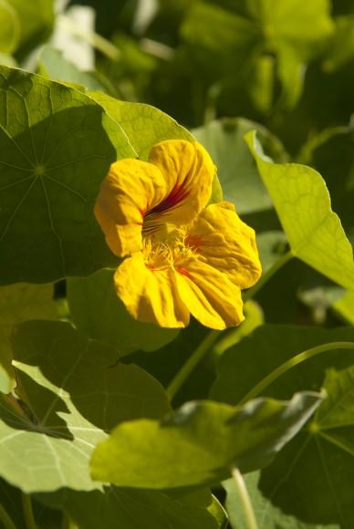 PHOTO: Tropaeolum majus 'Kaleidoscope Mix' nasturtium.