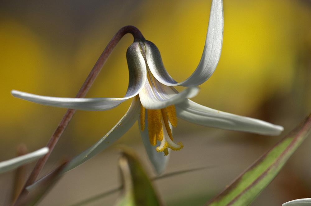 PHOTO: White trout lily