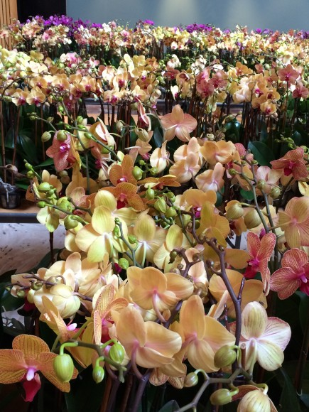 PHOTO: Unpacked orchids await final placement on rows of tables in Nichols Hall.