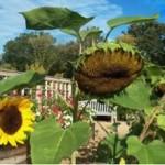 PHOTO: tall sunflower nodding.