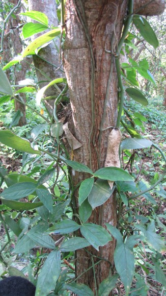 PHOTO: The Vanilla orchid's epiphytic roots.
