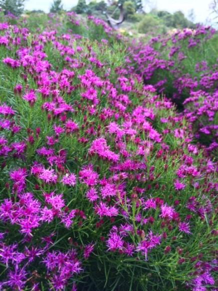 PHOTO: Vernonia lettermanii 'Iron Butterfly'