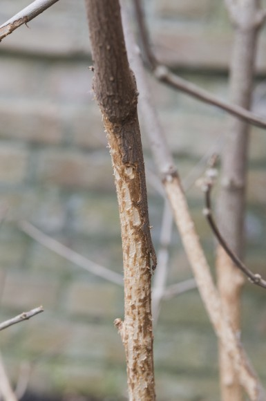 PHOTO: Viburnum winter damage.