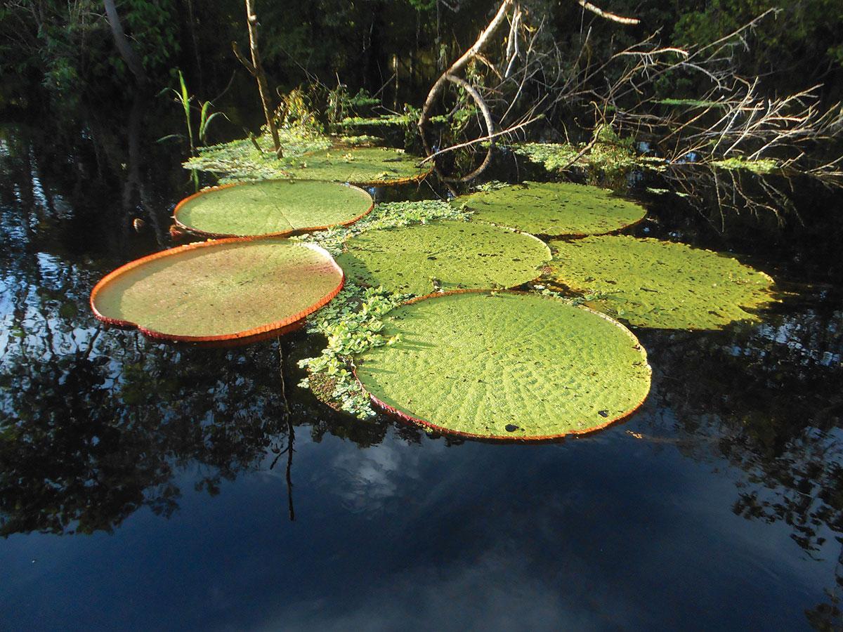 PHOTO: Victoria amazonica, the giant Amazonian waterlily.