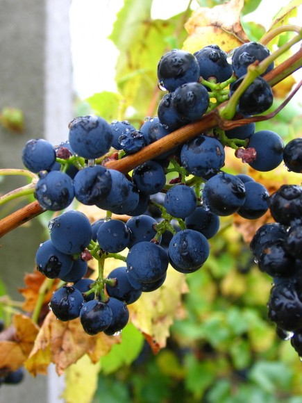 PHOTO: Dark purple grapes hang on the vine, just before harvest.