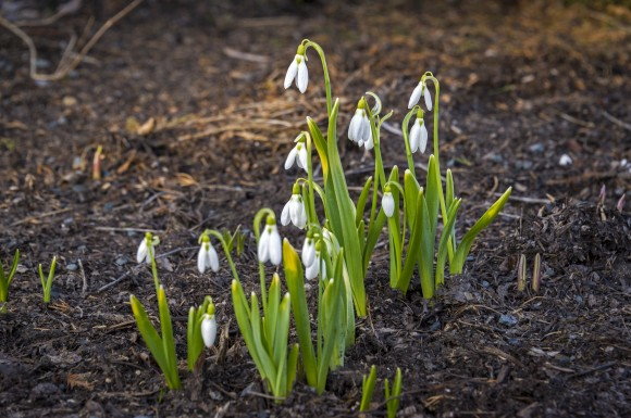 Giant snowdrops in bloom.