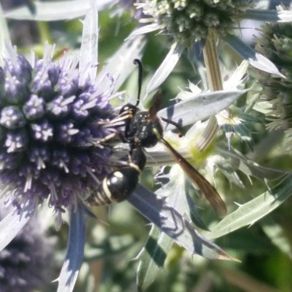 PHOTO: wasp perched on a eryngo flower.