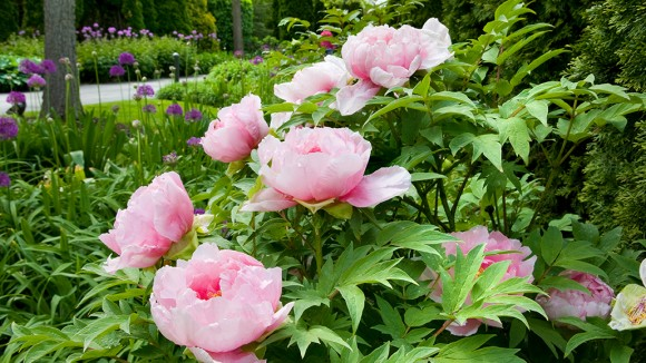 peonies in bloom in the West Flower Walk.