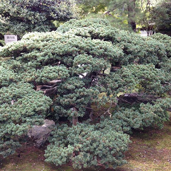 PHOTO: A majestic Japanese white pine (Pinus parviflora).