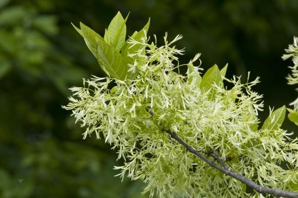 PHOTO: White fringetree in bloom.