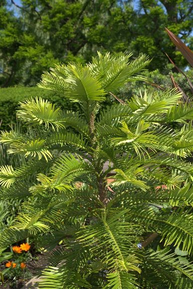 PHOTO: Wollemia nobilis in the Heritage Garden in summer.