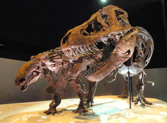 PHOTO: Wyrex Edmontonia fossils.