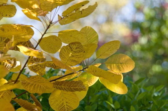 American smoke tree (Cotinus obovatus) in fall.