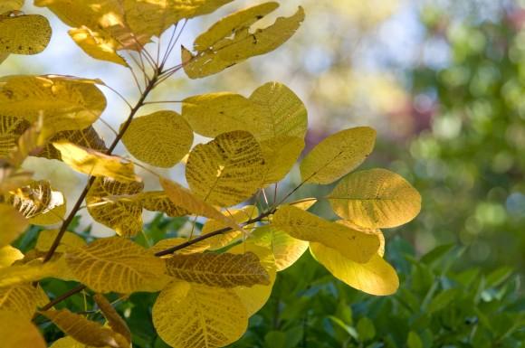 PHOTO: American smoke tree (Cotinus obovatus) in fall.