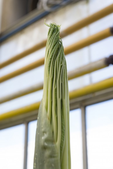 The emerging Amorphophallus titanum plant looks leafy, unlike the smooth spadix which emerges from a flower bud.