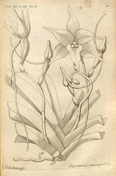 ILLUSTRATION: an illustrated plate of Angraecum sesquipedale from 1822.