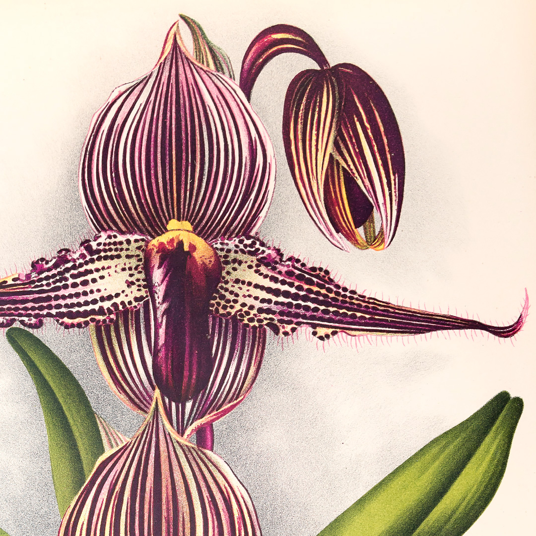 How botanical artists from India to Japan captured orchids