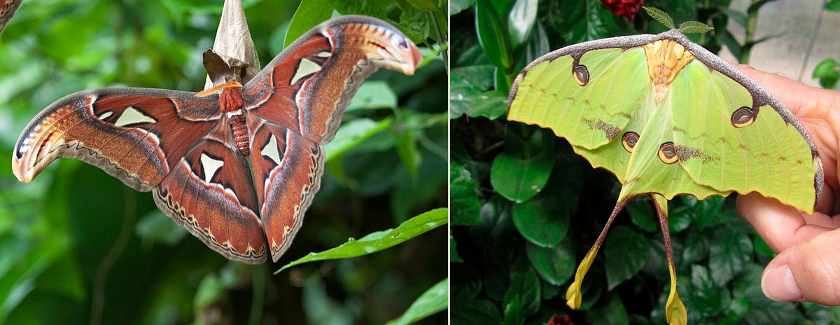 Atlas Moths & African Moon Moths Are Here