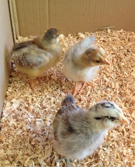 PHOTO: chicks