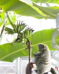 PHOTO: Botanical Bill gets a banana snack.