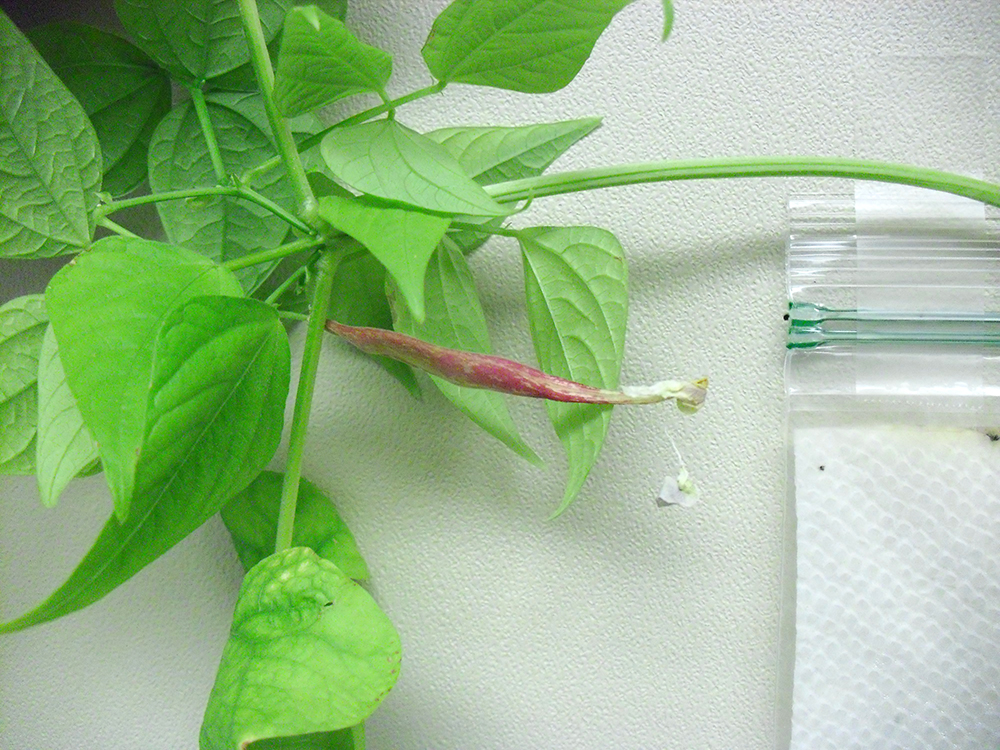 PHOTO: a red bean pod, about 2 and a half inches long is attached to the stem of the plant.