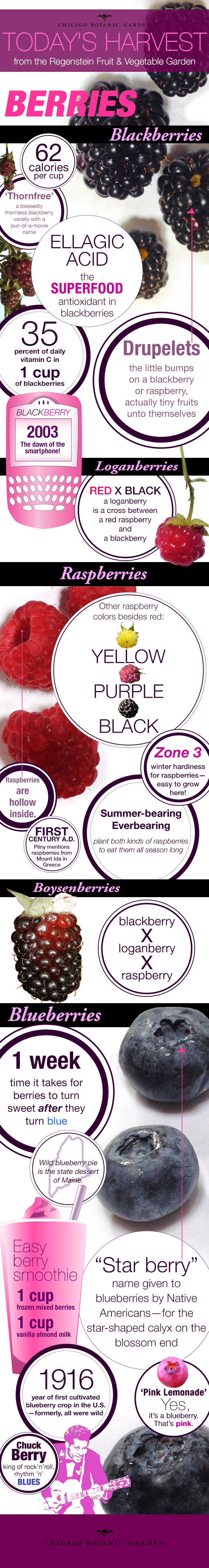 Infographic on berries
