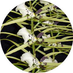 "Brassia, ""spider orchid"""