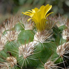 Weingartia lanata in bloom.