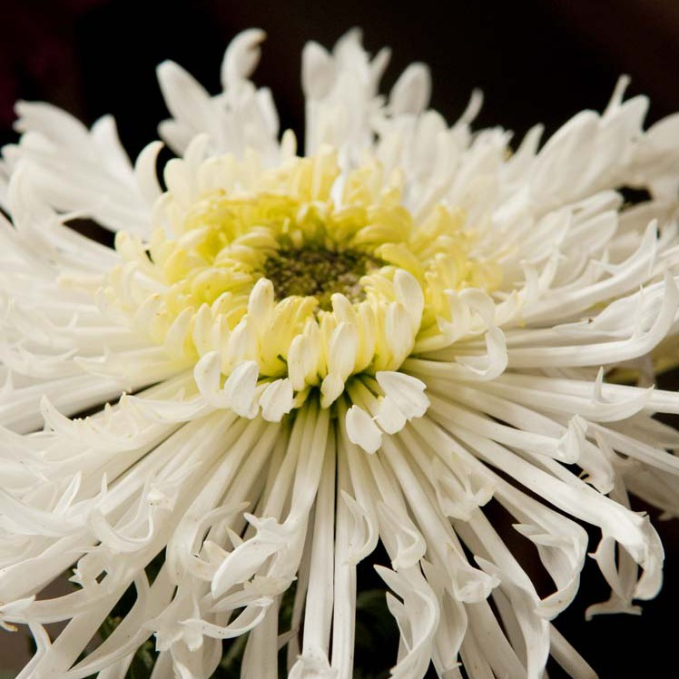 PHOTO: Chrysanthemum x morifolium 'Icicles'