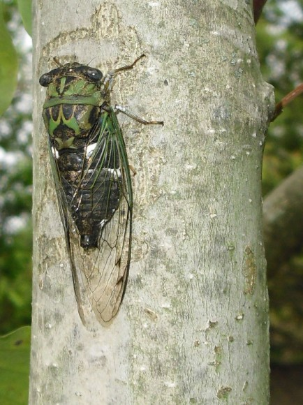 Side view of a cicada.