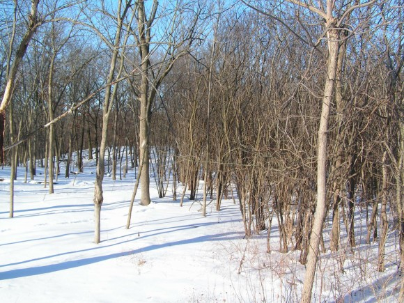 PHOTO: The woods in winter, showing both cleared, walkable woods and unpassable buckthorn-infested area.