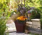 PHOTO: This fall container contrasts bright orange mums with the purple stalks of ornamental millet, and a green and yellow grass.