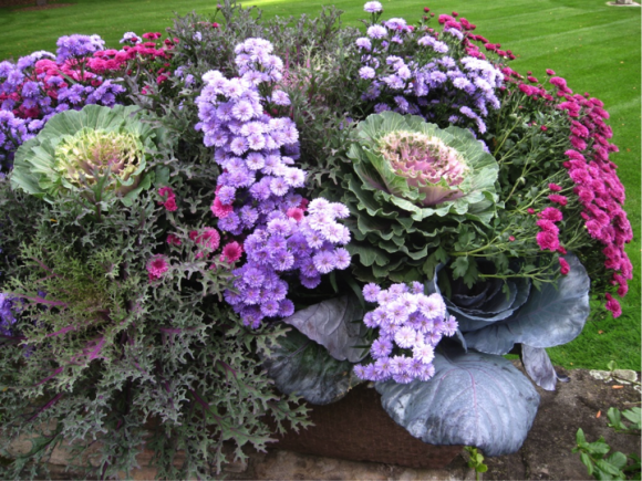 PHOTO: Fall container garden with asters, mums, cabbages, and kale.
