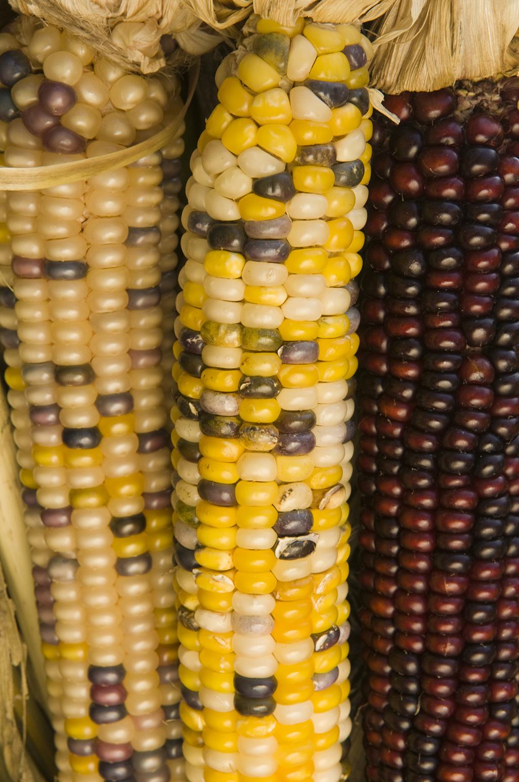 corn 804