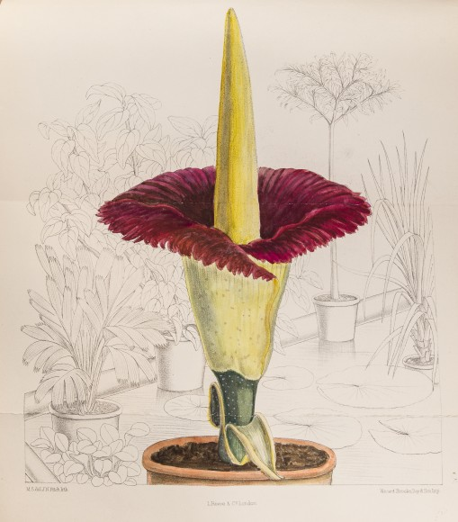 Corpse plant in flower illustrated by M. Smith in Curtis's Botanical Magazine (1891).