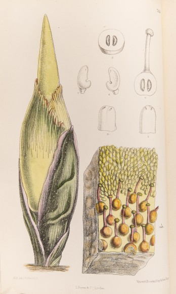 ILLUSTRATION: Bud shown with male and female flowers of Amorphophallus titanum (Becc.) Becc. - Titan Arum from Curtis's Botanical Magazine, vol. 117 [ser. 3, vol. 47]: t. 7153 (1891) [M. Smith].