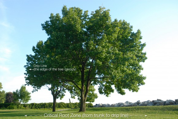 PHOTO: Photo with graphic showing of the drip line of a tree, and the critical root zone.