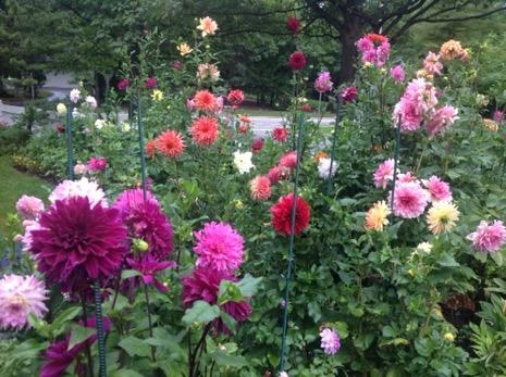 A garden full of dahlias